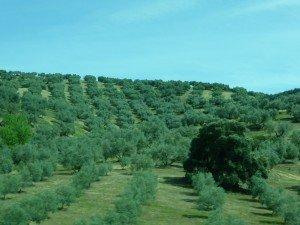 Oliviers d'Andalousie.